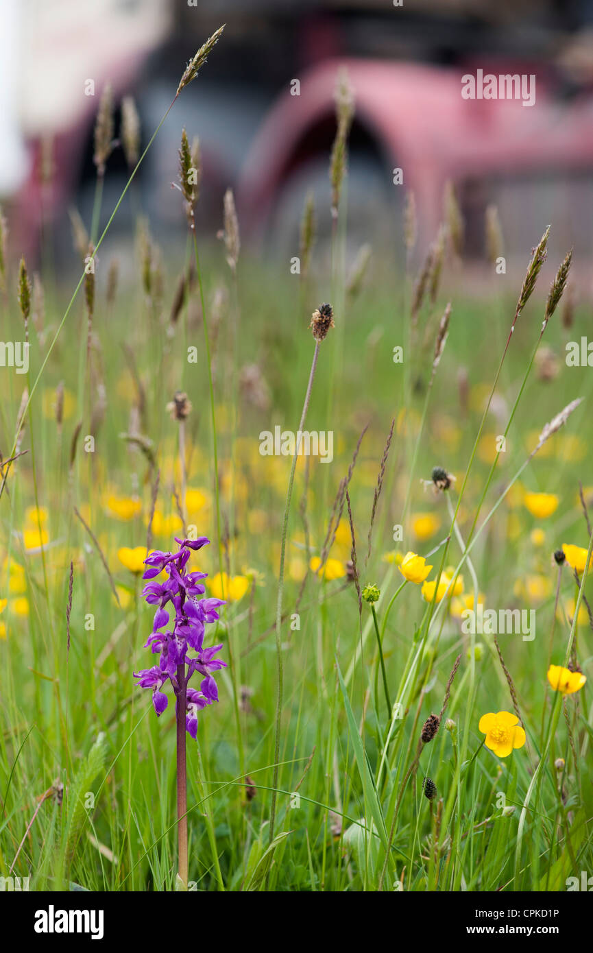 Orchis mascula. Early purple orchid on the roadside. Devon. England Stock Photo