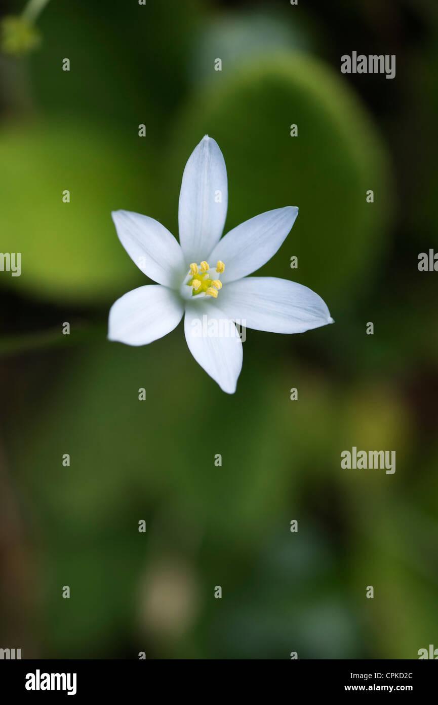 Ornithogalum umbellatum. Common Star of Bethlehem flower - Stock Image
