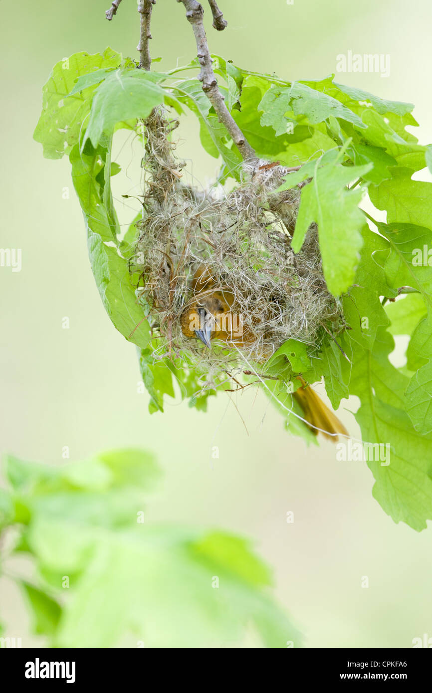 Female Baltimore Oriole Nest Building - vertical - Stock Image