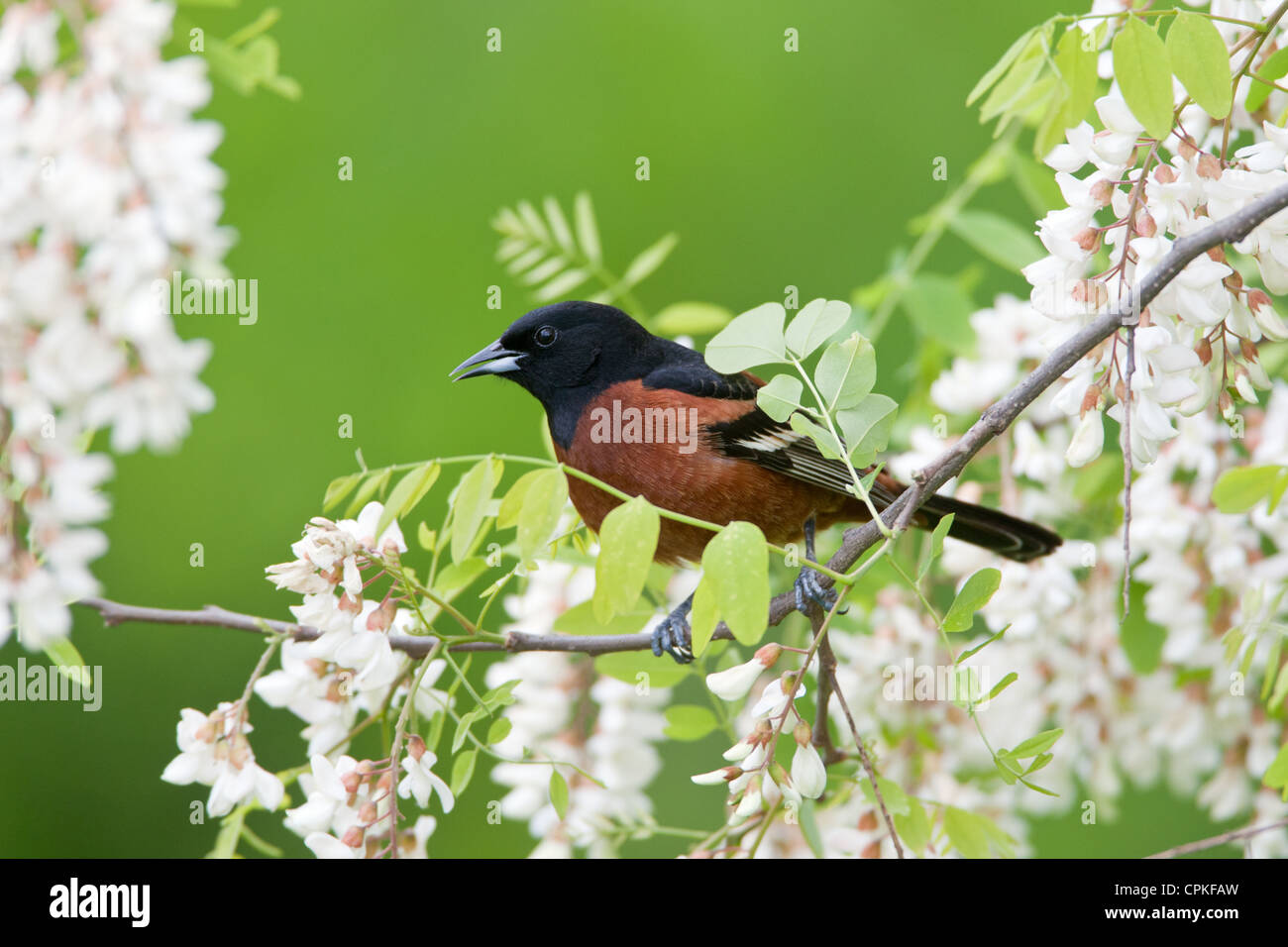 Orchard Oriole in Black Locust Flowers - Stock Image