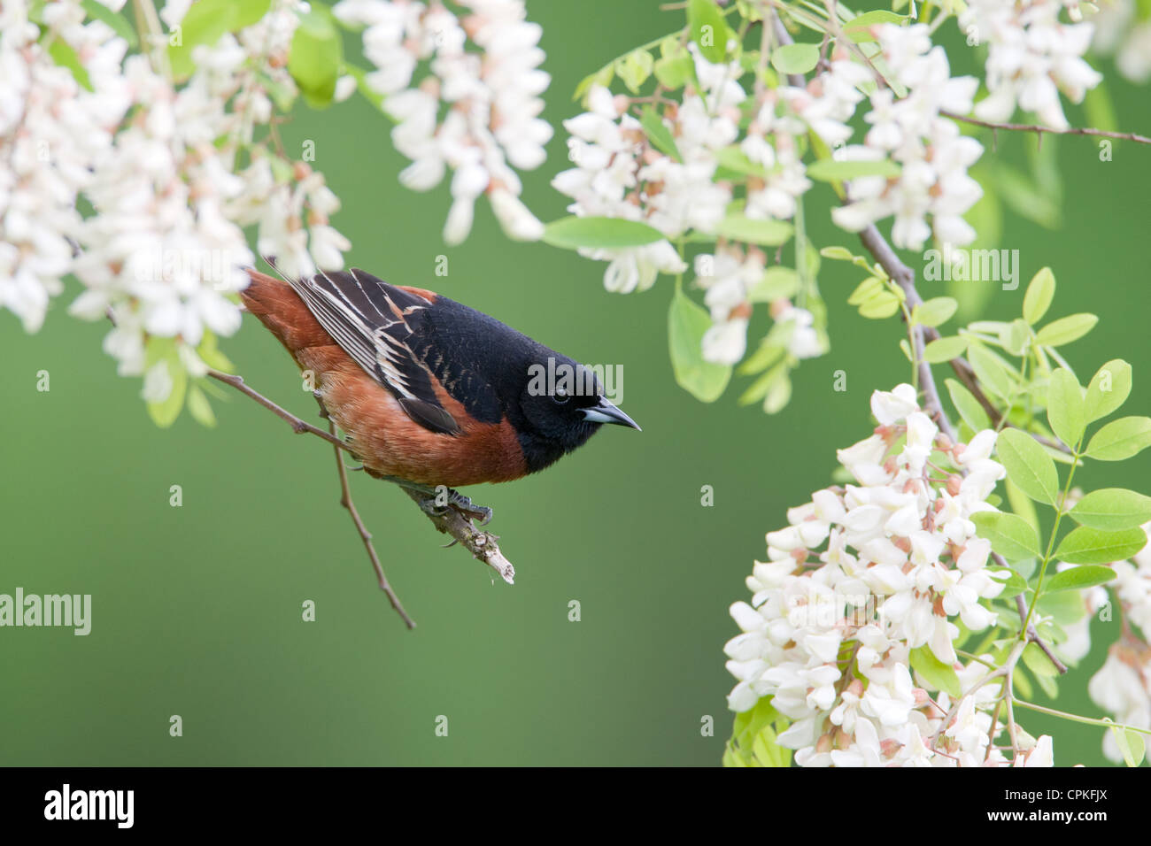 Orchard Oriole perched in Black Locust Flowers - Stock Image