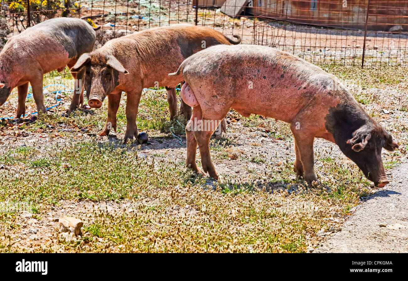 Boars looking for food. Showing their genitals ;-) - Stock Image