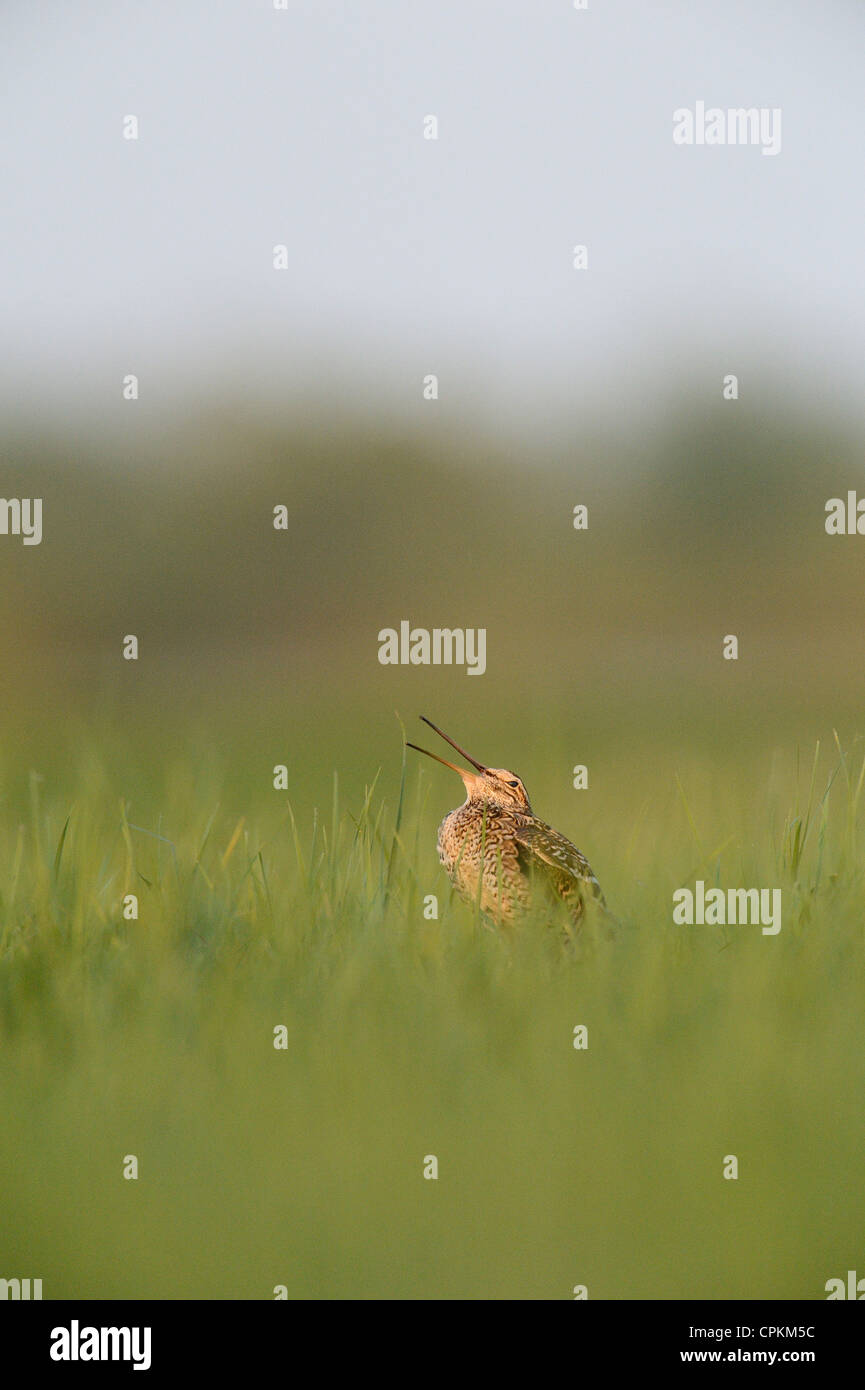 Great Snipe in a field in Belarus - Stock Image