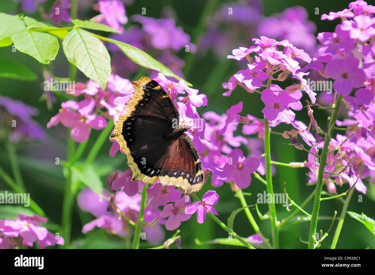 A Morning Cloak butterfly feeding from Flocks. - Stock Image