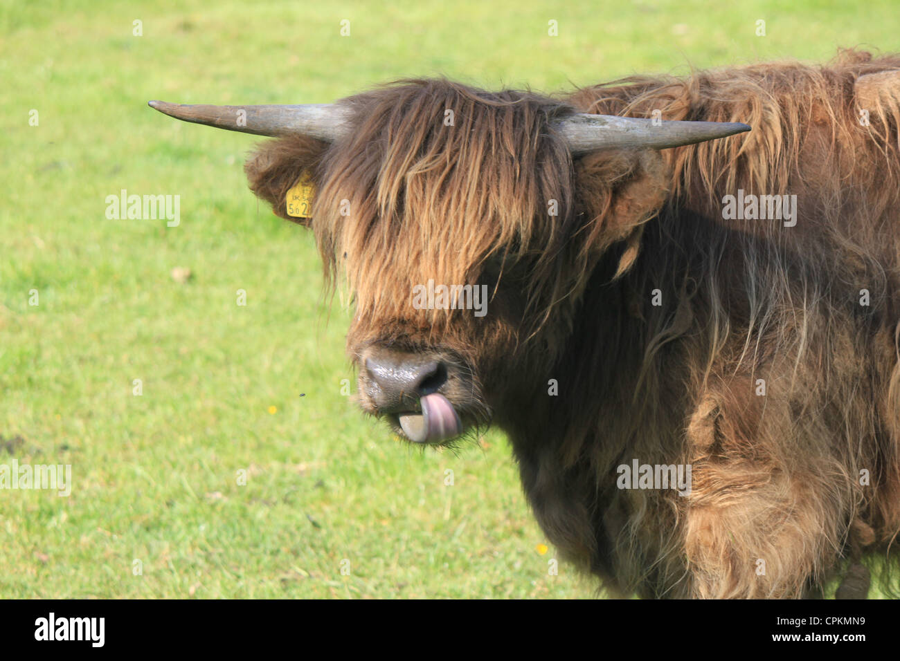 Highland cow with tongue out  (Tayside, Scotland) - Stock Image