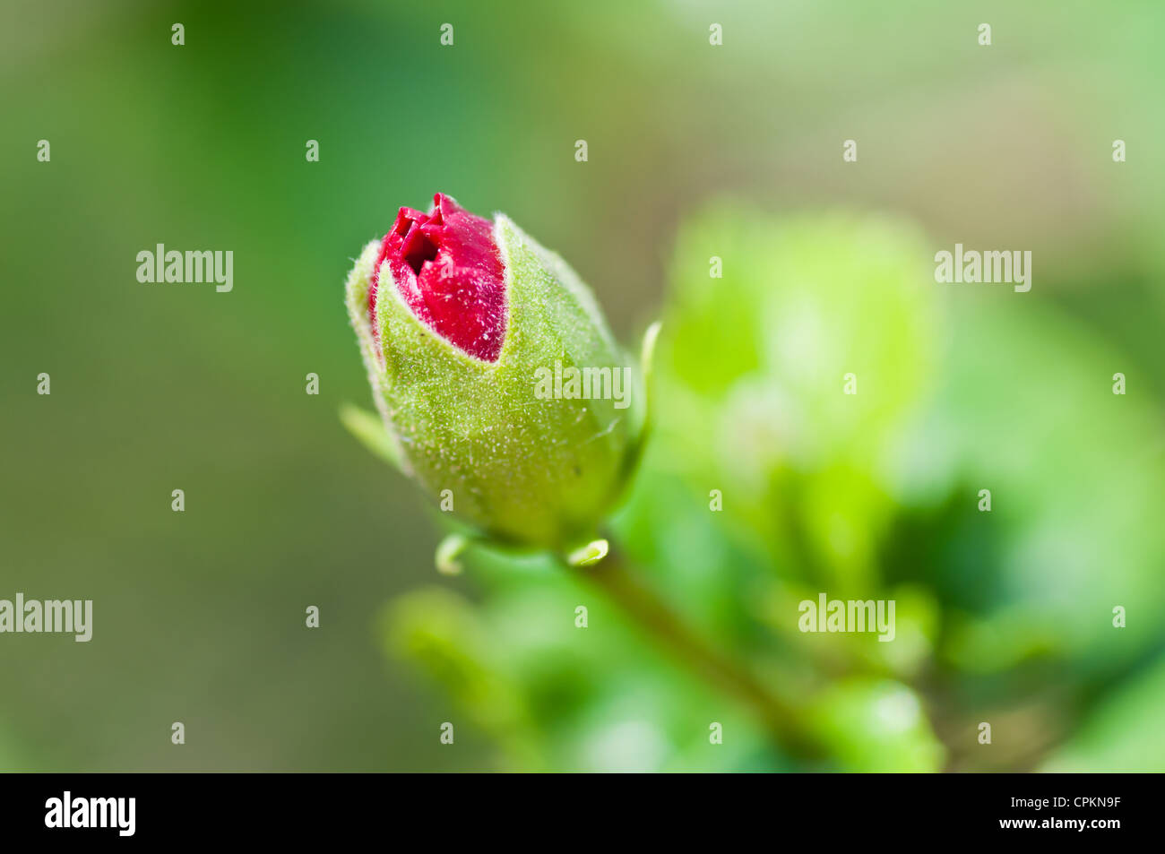 Hibiscus Flower Bud Stock Photos Hibiscus Flower Bud Stock Images