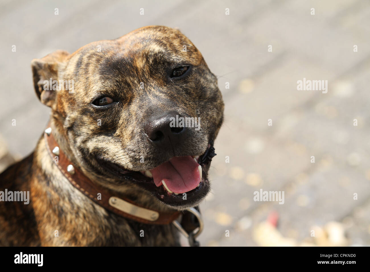 Staffordshire Bull Terrier Staffie Dog - Stock Image