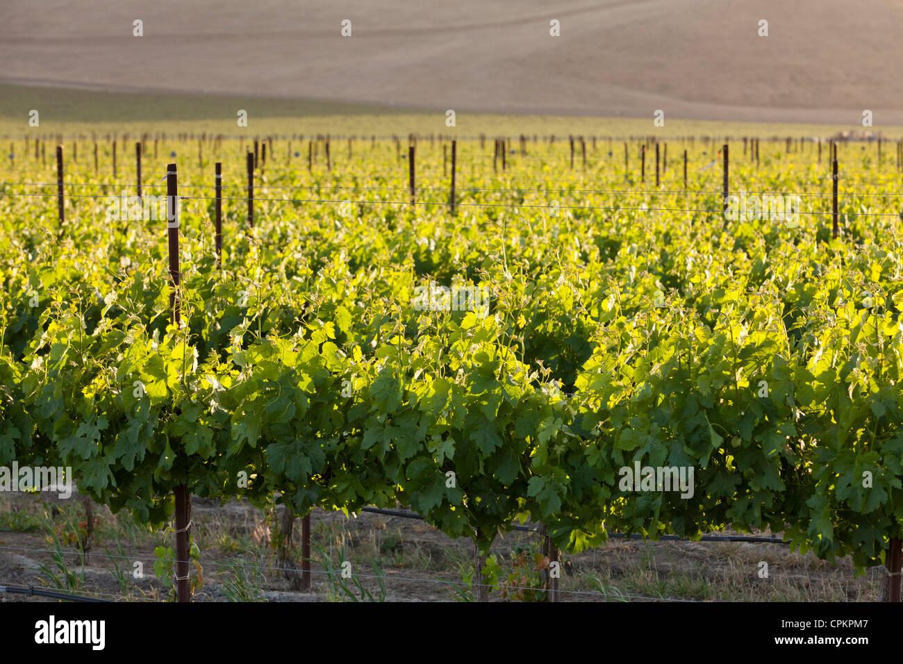 California central valley vineyard in spring - San Luis Obispo County, California USA Stock Photo