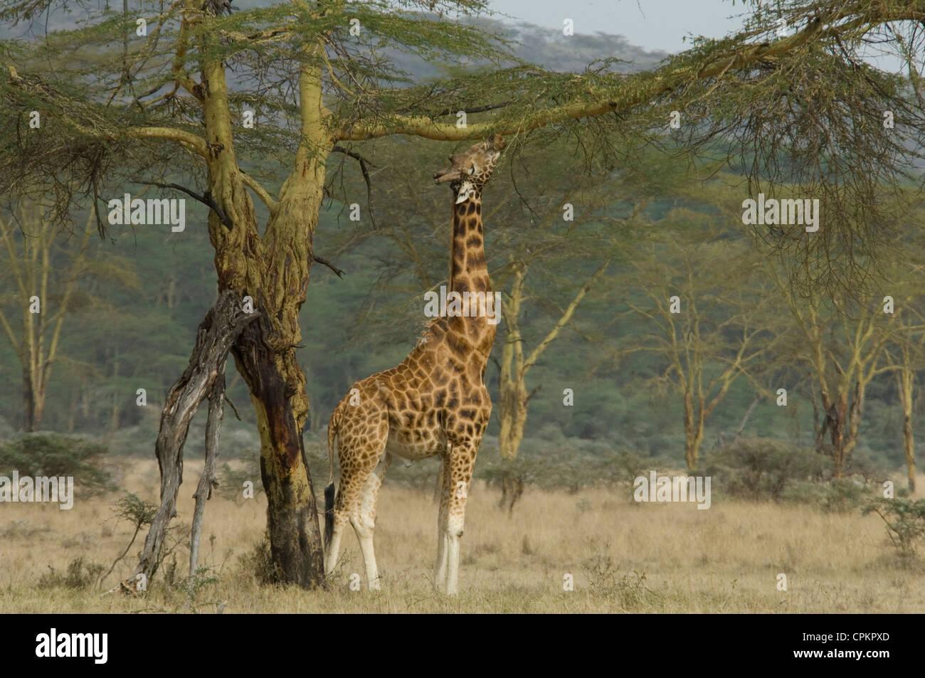 Rothschild's giraffe browsing - Stock Image