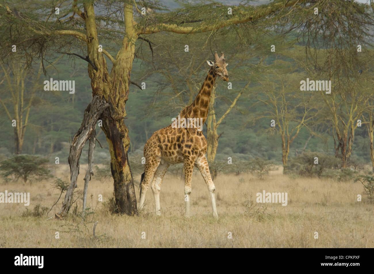 Rothschild's giraffe by Yellow-barked acacia tree - Stock Image