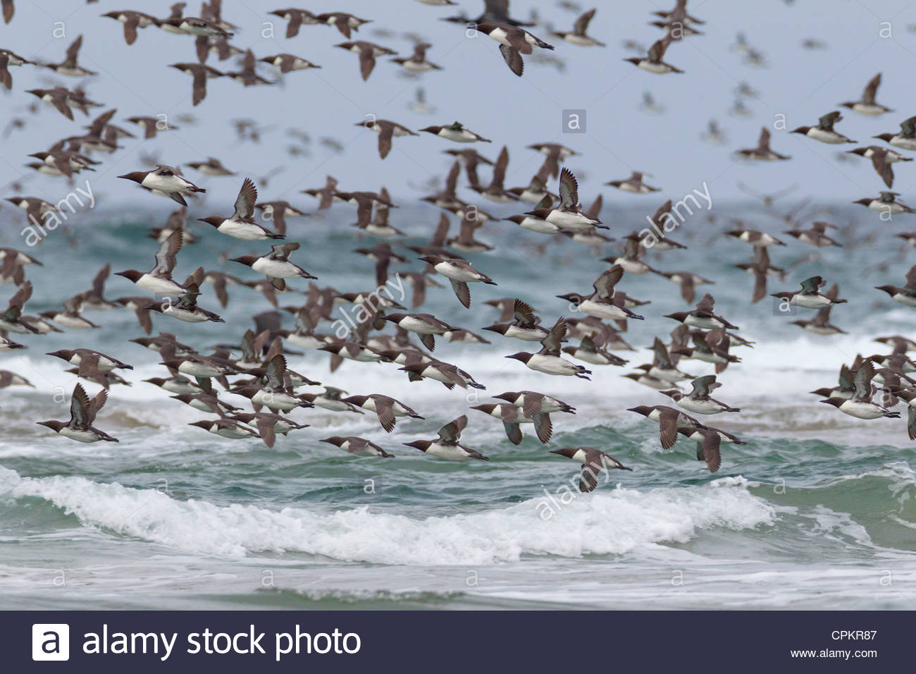 A large flock of Common Murres (Uria aalge), also called Common Guillemots, flies over Pacific Ocean near Cannon Stock Photo