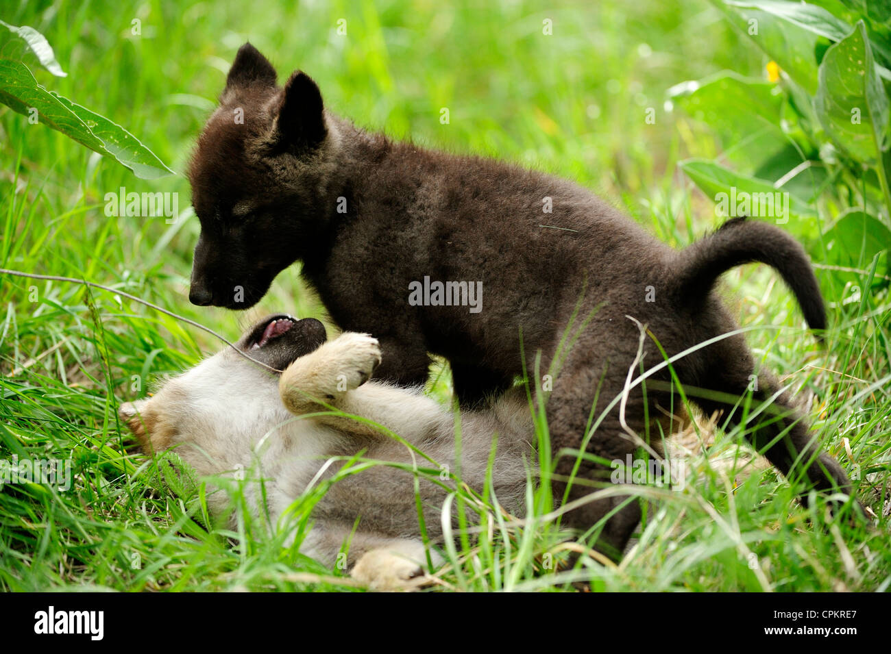gray wolf canis lupus baby howling captive specimen stock photo 48378687 alamy. Black Bedroom Furniture Sets. Home Design Ideas