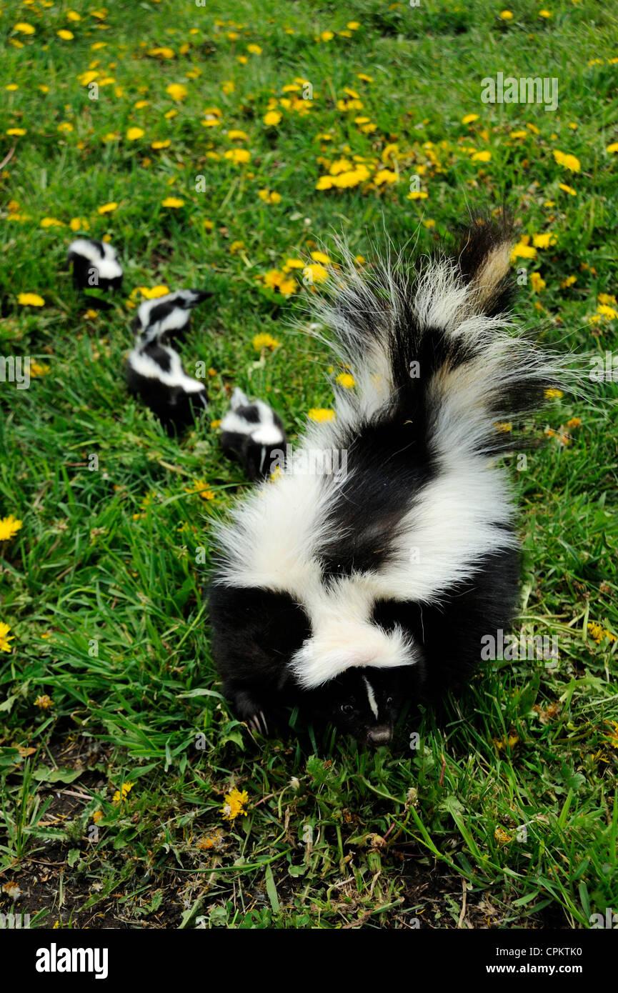 Striped Skunk (Mephitis mephitis) babies and adult- captive specimen, Bozeman, Montana, USA - Stock Image