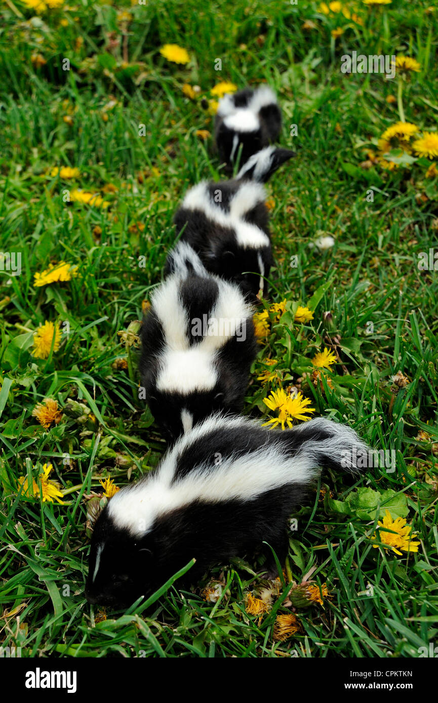 Striped Skunk (Mephitis mephitis) babies at den, Bozeman, Montana, USA - Stock Image