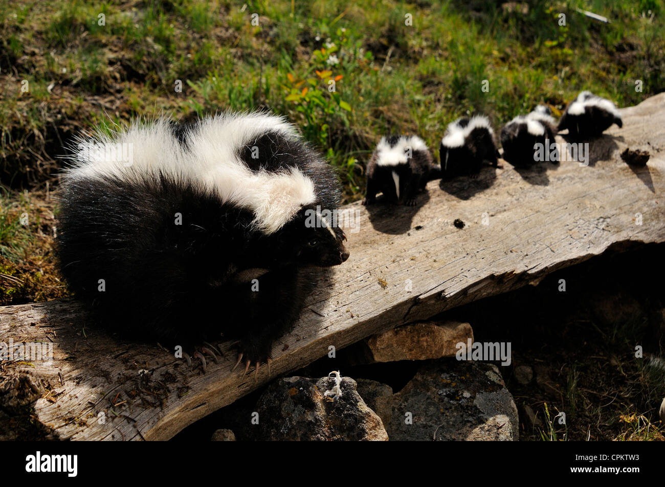 Striped Skunk (Mephitis mephitis) babies at den- captive specimen, Bozeman, Montana, USA - Stock Image