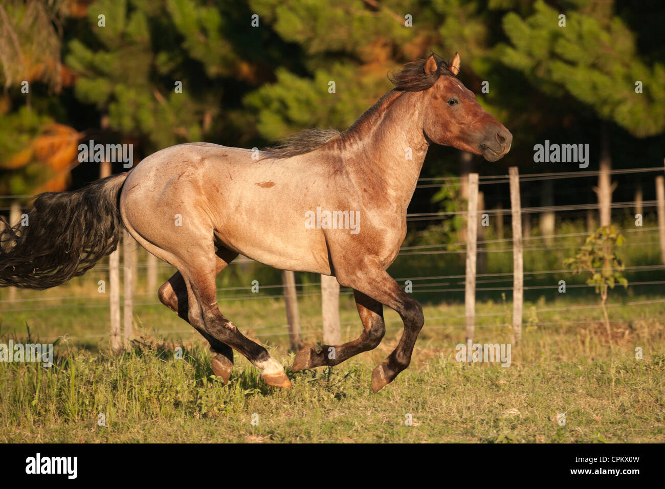Criollo horses wild feral cowboy South America - Stock Image