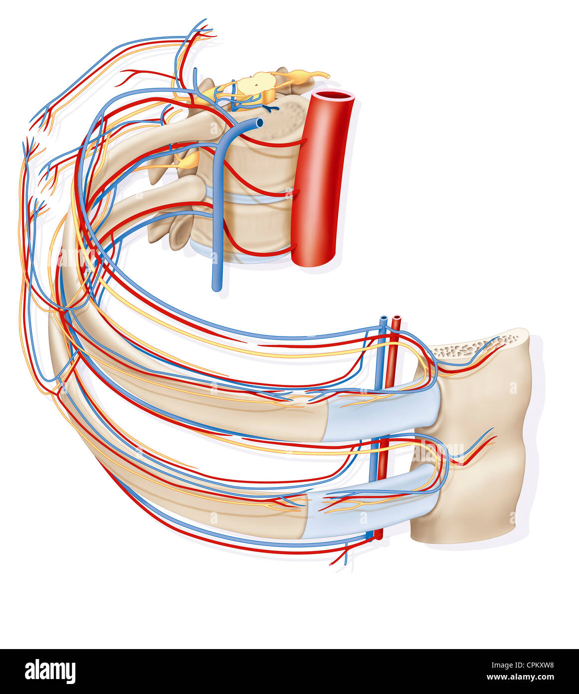 Intercostal Arteries Stock Photos & Intercostal Arteries Stock ...