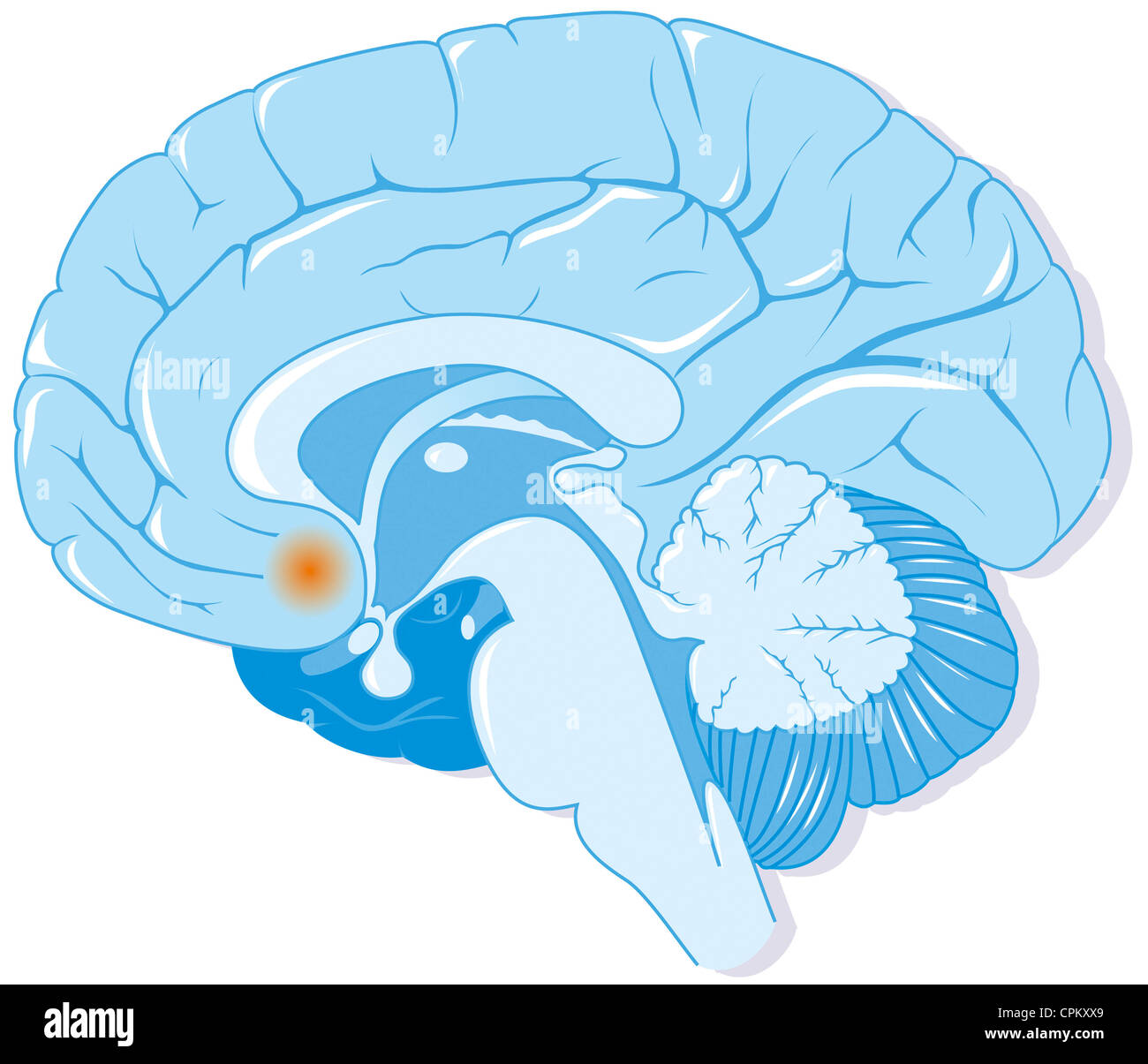 BRAIN, DRAWING Stock Photo
