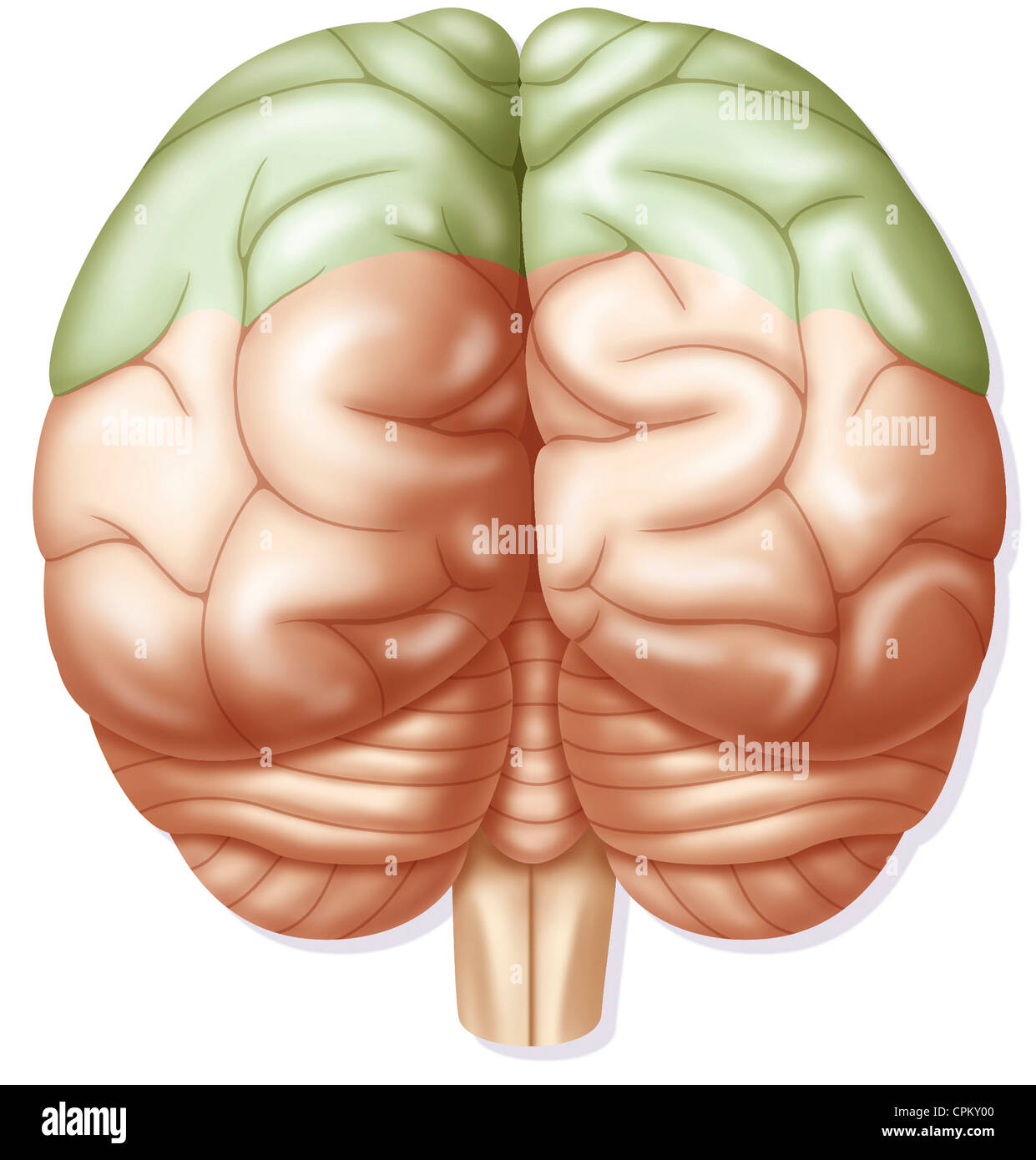 CEREBRAL LOBE Stock Photo