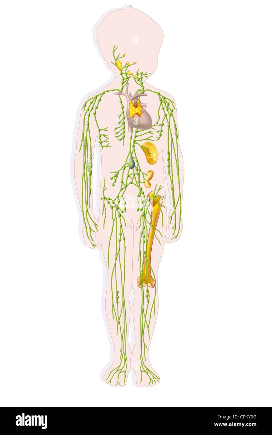 CHILD LYMPHATIC SYSTEM, DRAWING - Stock Image