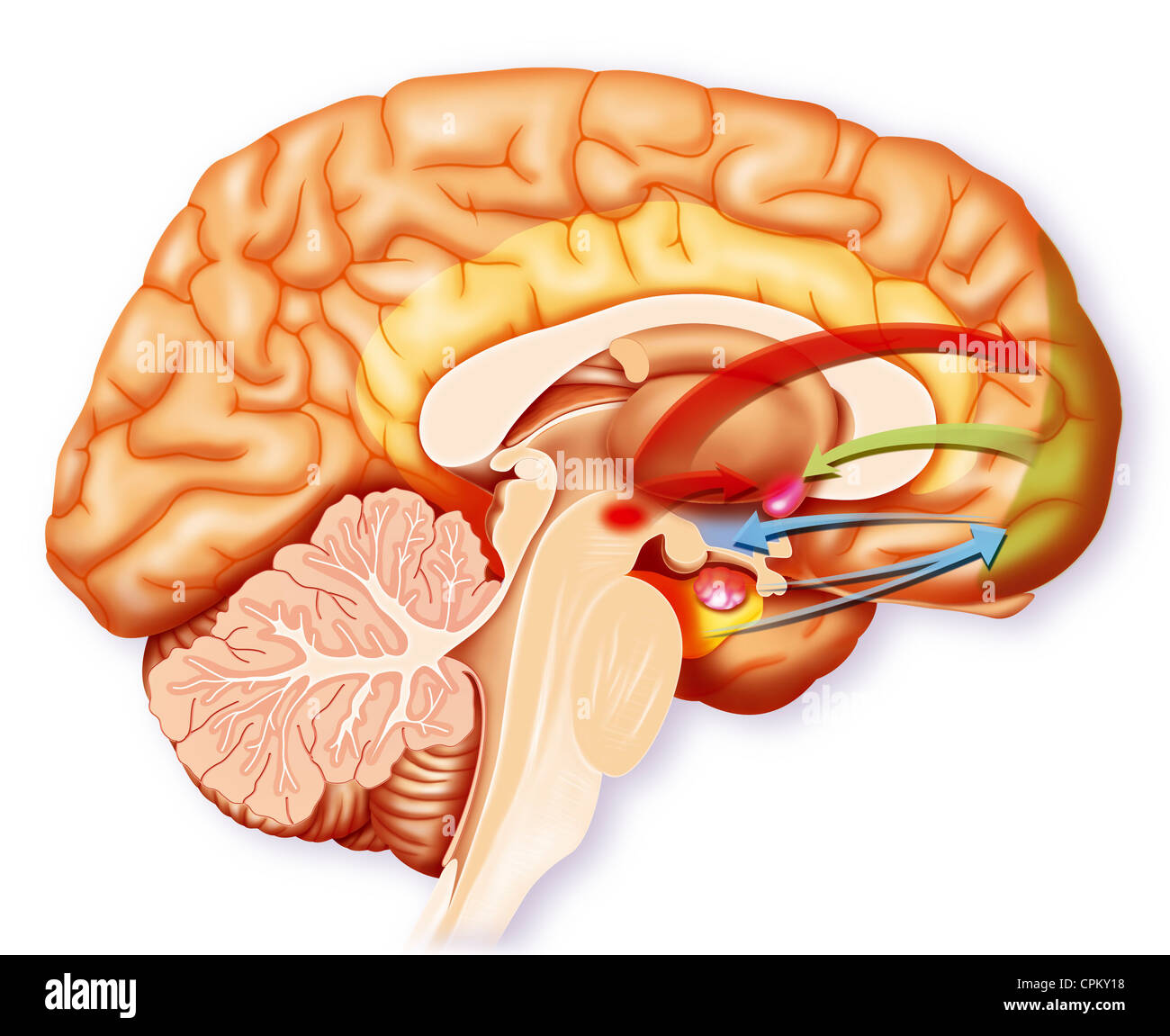 Ventral Striatum Stock Photos & Ventral Striatum Stock Images - Alamy
