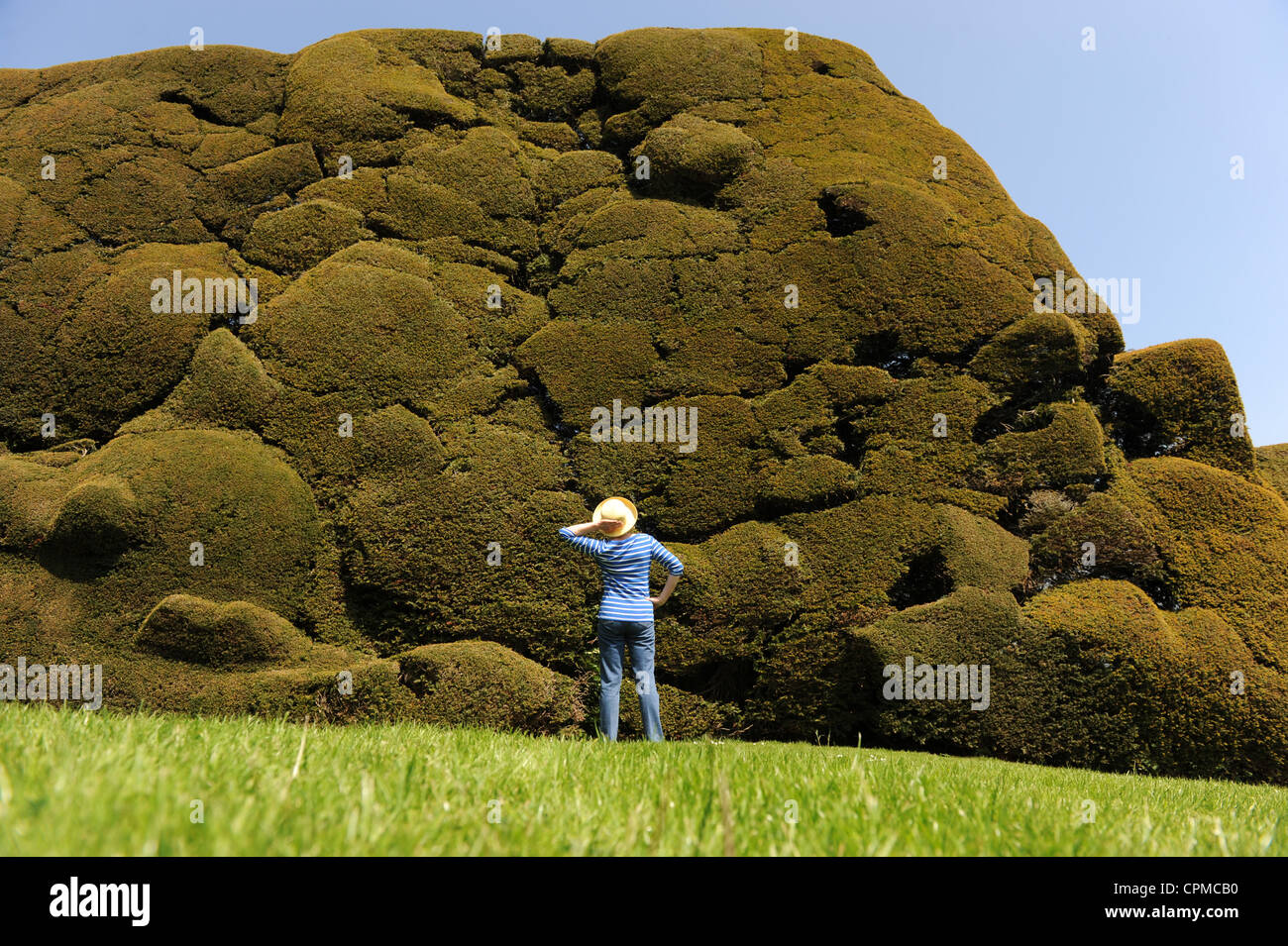 Woman looking at English Yew Hedge - Stock Image
