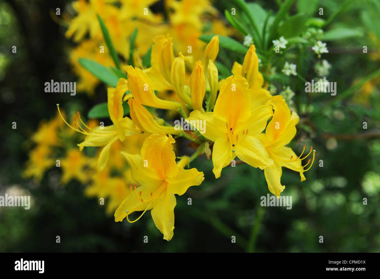 Yellow Azalea Rhododendron cultivar Uk - Stock Image