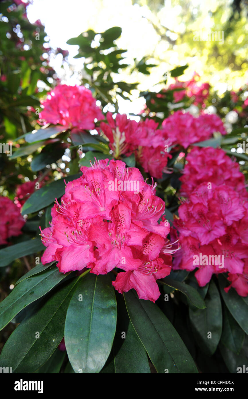 Pink rhododendron Uk - Stock Image
