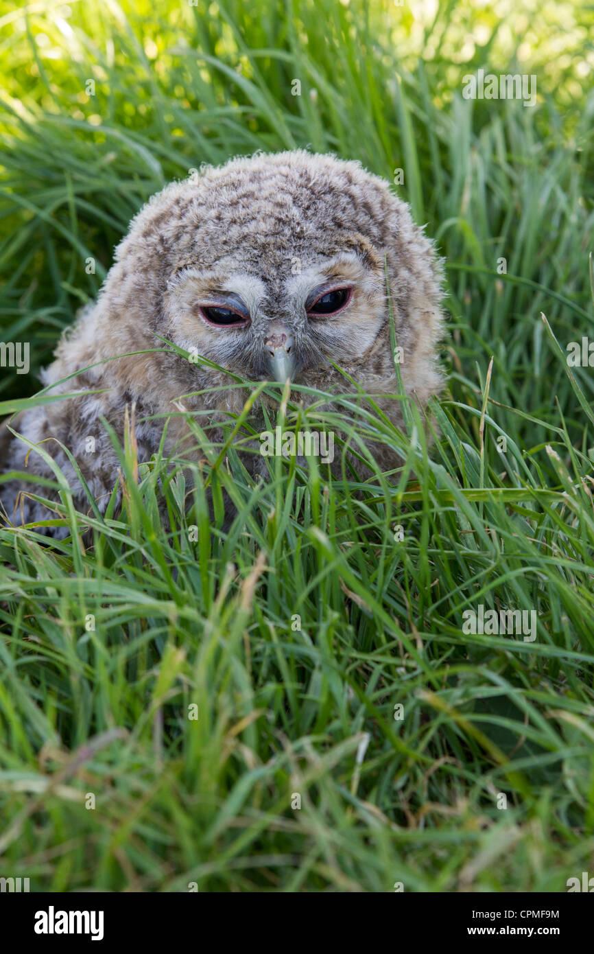 Tawny Owl. Strix aluco (Strigidae) - Stock Image