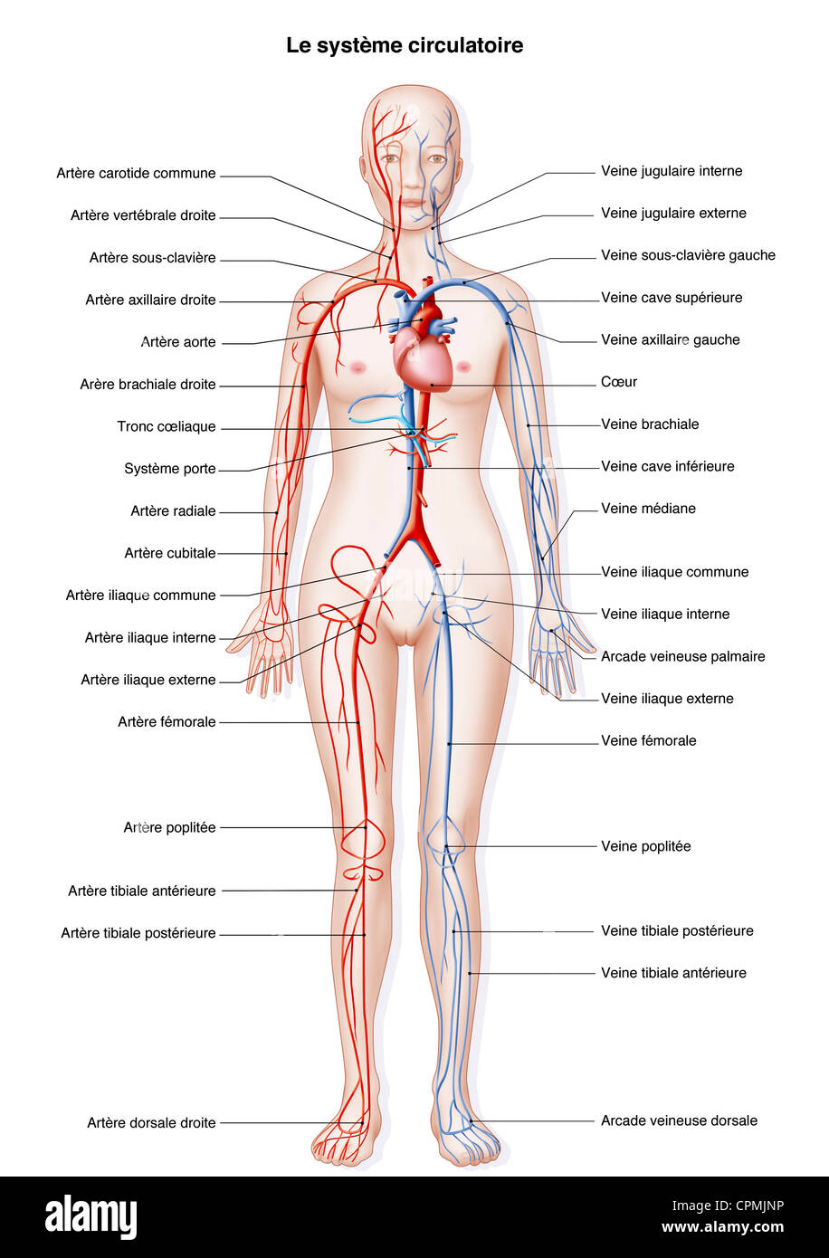 Circulation Of The Blood Stock Photos & Circulation Of The Blood ...