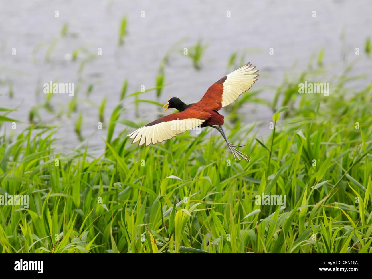 Northern jacana flying over lake Arenal, Costa Rica - Stock Image