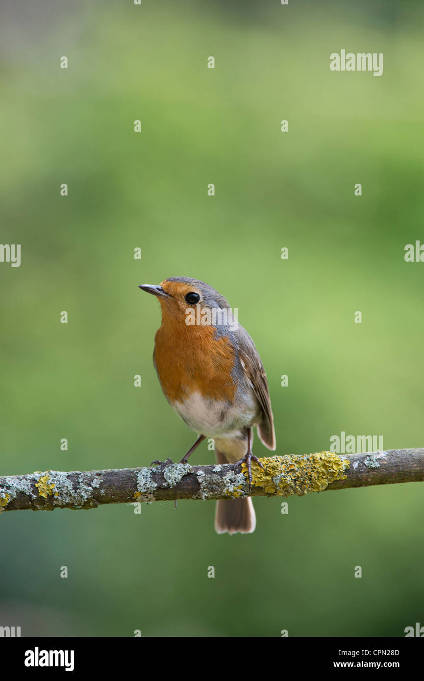 Robin perched on a branch against a green background - Stock Image