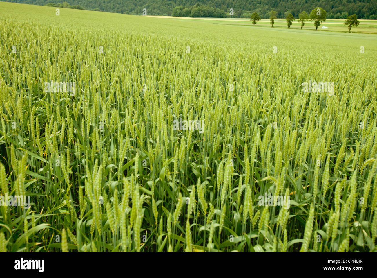 Wheat growing in field - Stock Image