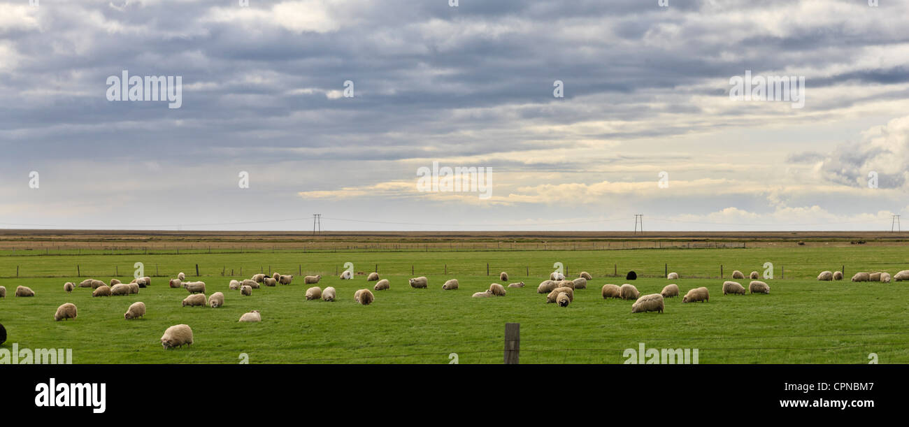 Iceland, panoramic view of sheep grazing in field - Stock Image