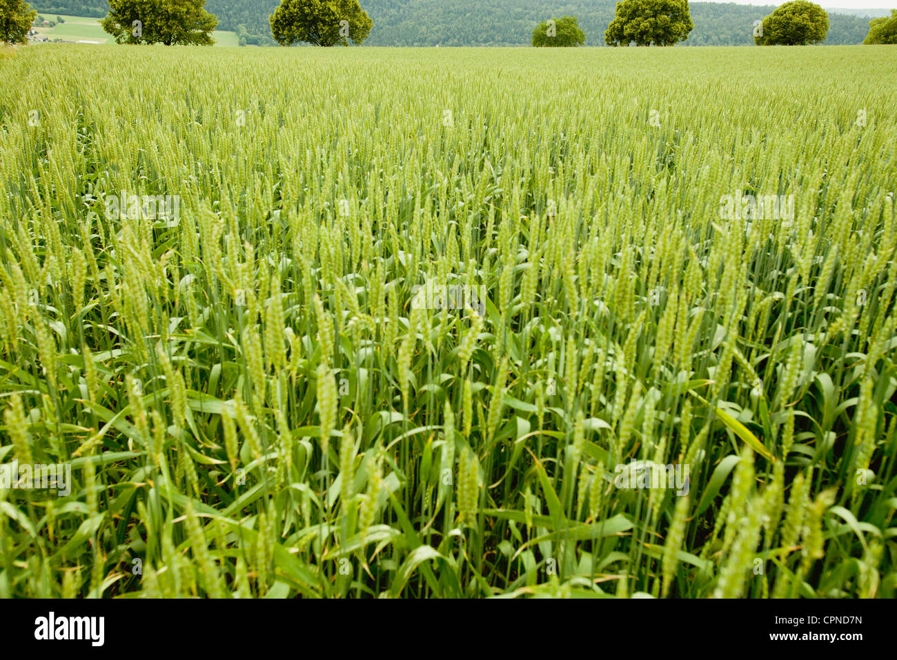 Wheat field - Stock Image