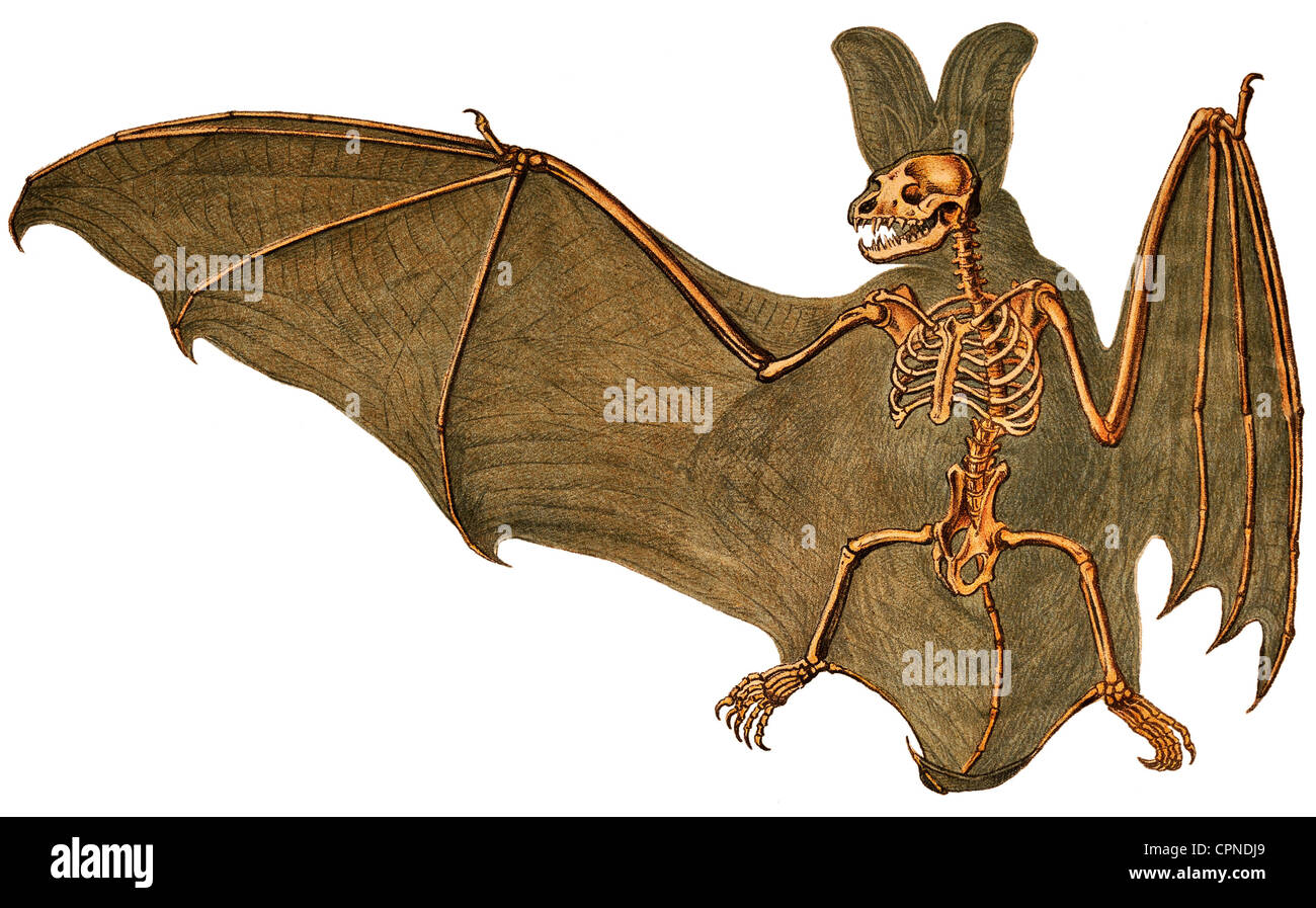 Bat Skeleton Illustration Stock Photos & Bat Skeleton Illustration ...