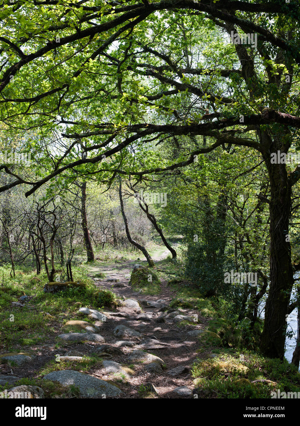 Oak and beech trees along the pathway next to the River Dart. Devon, England - Stock Image