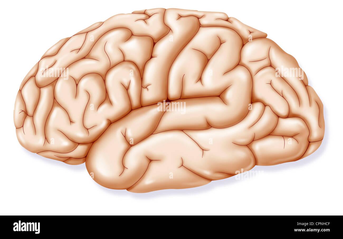 Left Brain Hemisphere Stock Photos & Left Brain Hemisphere Stock ...