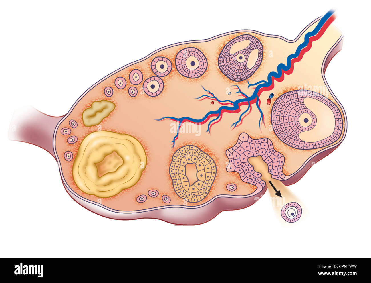 OVARIAN CYCLE, DRAWING - Stock Image