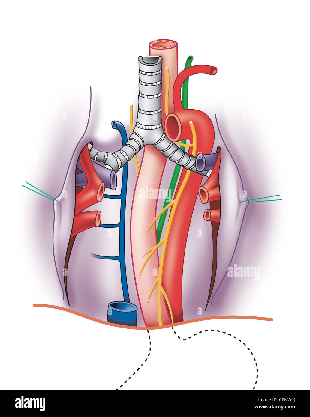 Bronchial Artery Stock Photos & Bronchial Artery Stock Images - Alamy