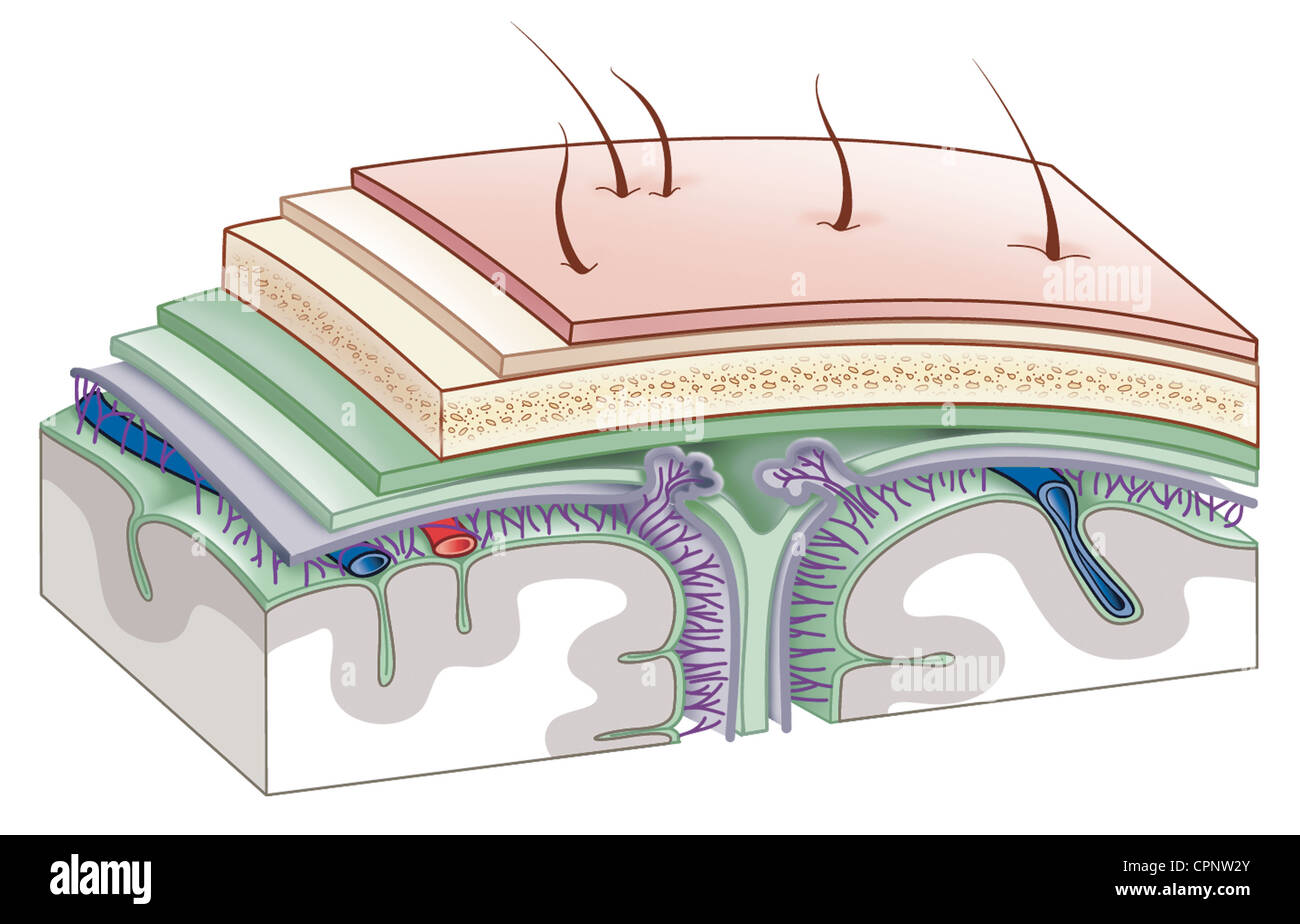 MENINGES, DRAWING - Stock Image