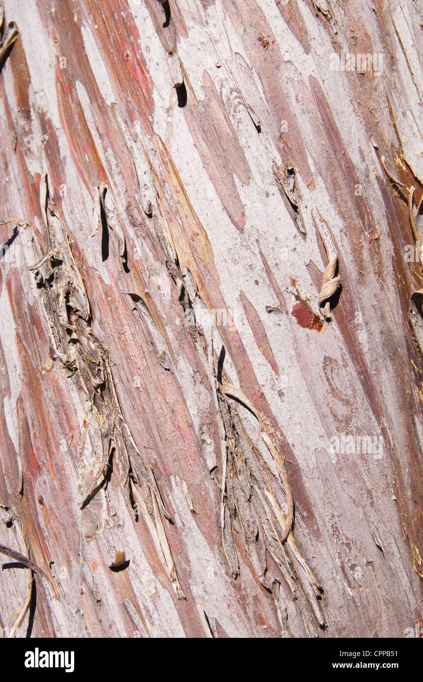peeling Arizona smooth cypress Cupressus glabra bark background detail - Stock Image