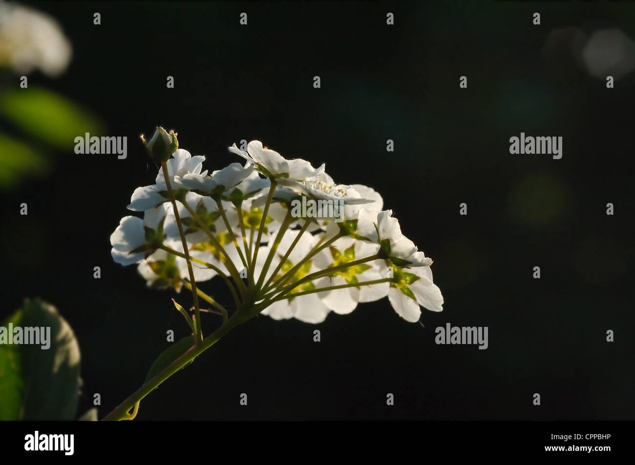 Mock Orange Garden Shrub - Stock Image