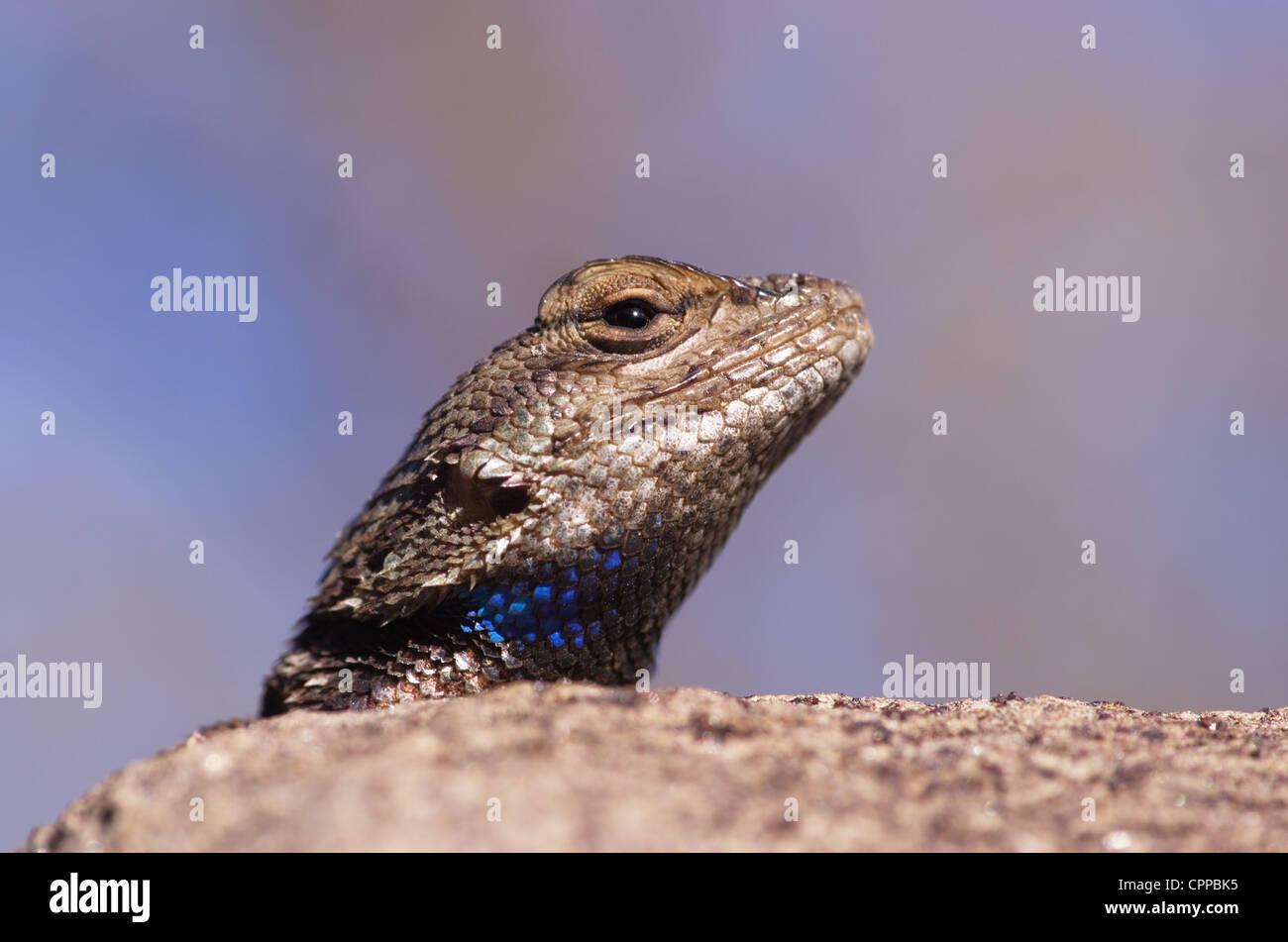 macro image of a plateau fence lizard head looking over a rock Stock Photo