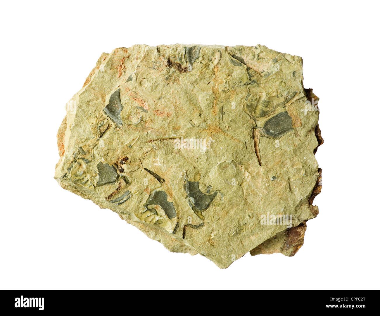 Cambrian shale rock with Ollenelid trilobite fossils in it isolated on white background - Stock Image