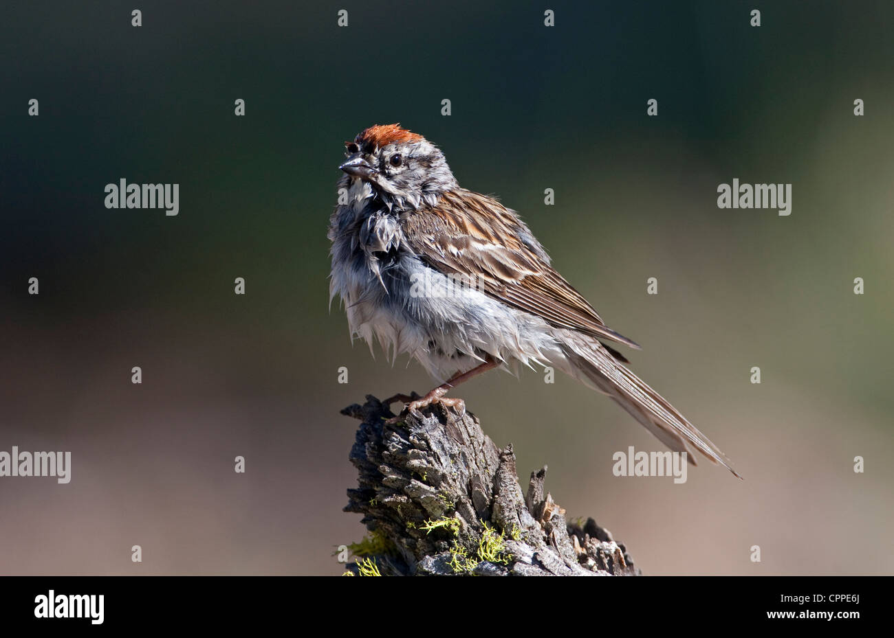 Chipping Sparrow (Spizella passerina) wet from bathing and perched on a stump at Cabin Lake, Oregon, USA in June. - Stock Image