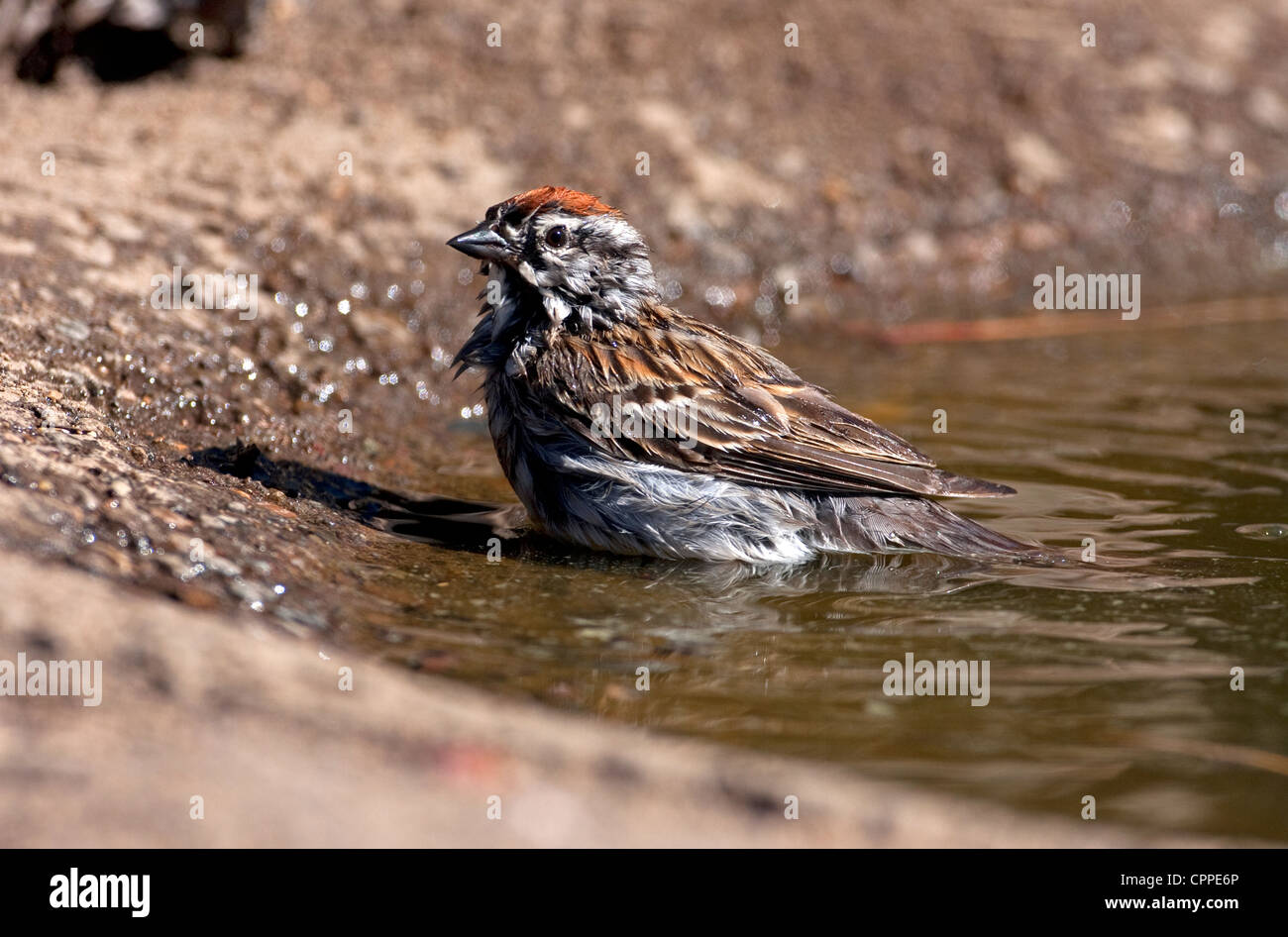 Chipping Sparrow (Spizella passerina) bathing in a small pond at Cabin Lake, Oregon, USA in June. - Stock Image