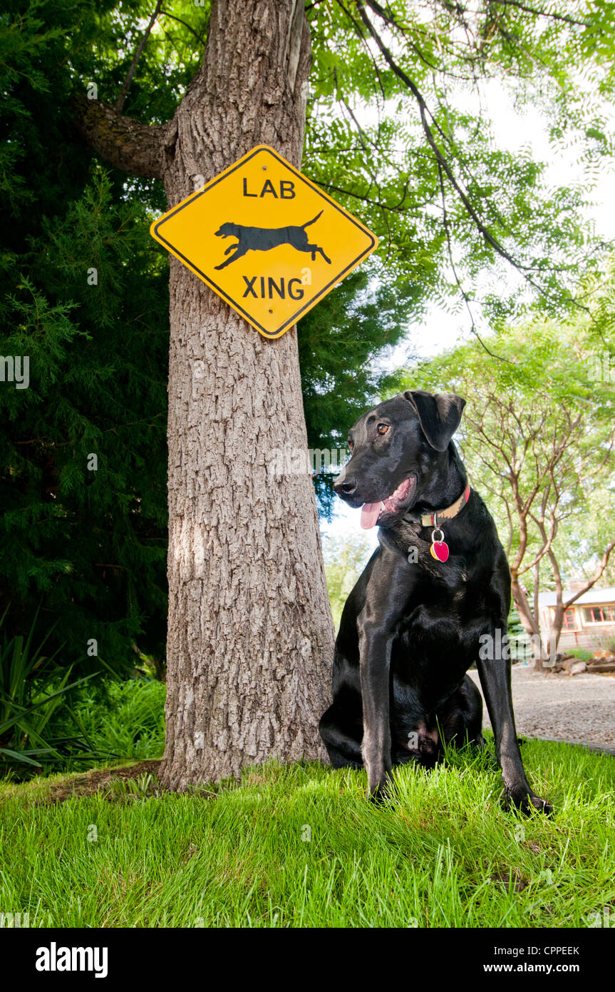 Black Labrador retriever and 'Lab Crossing' sign - Stock Image