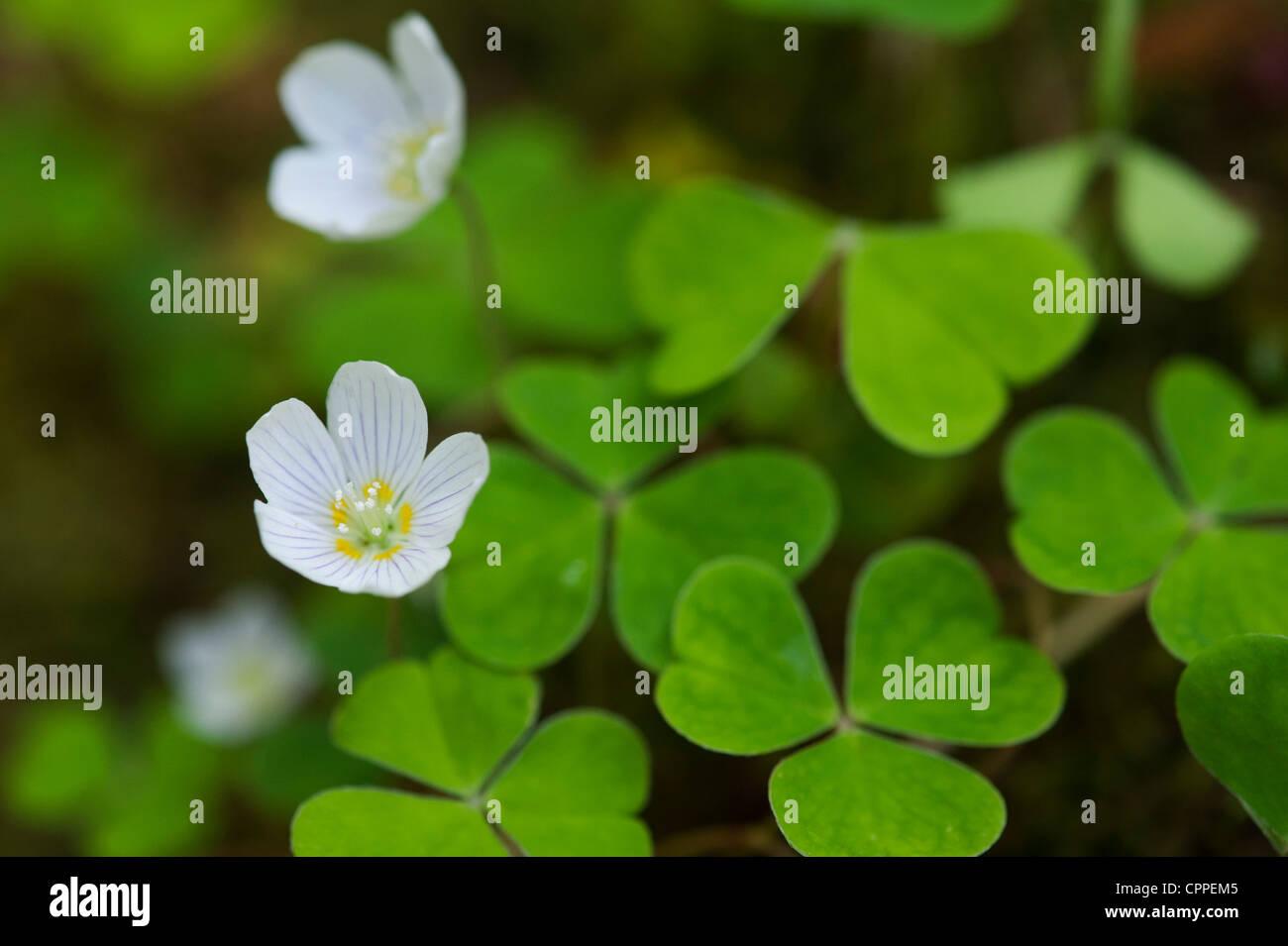 Oxalis oregana. Redwood Sorrel. Oregon oxalis flower. Oregon Wood Sorrel - Stock Image