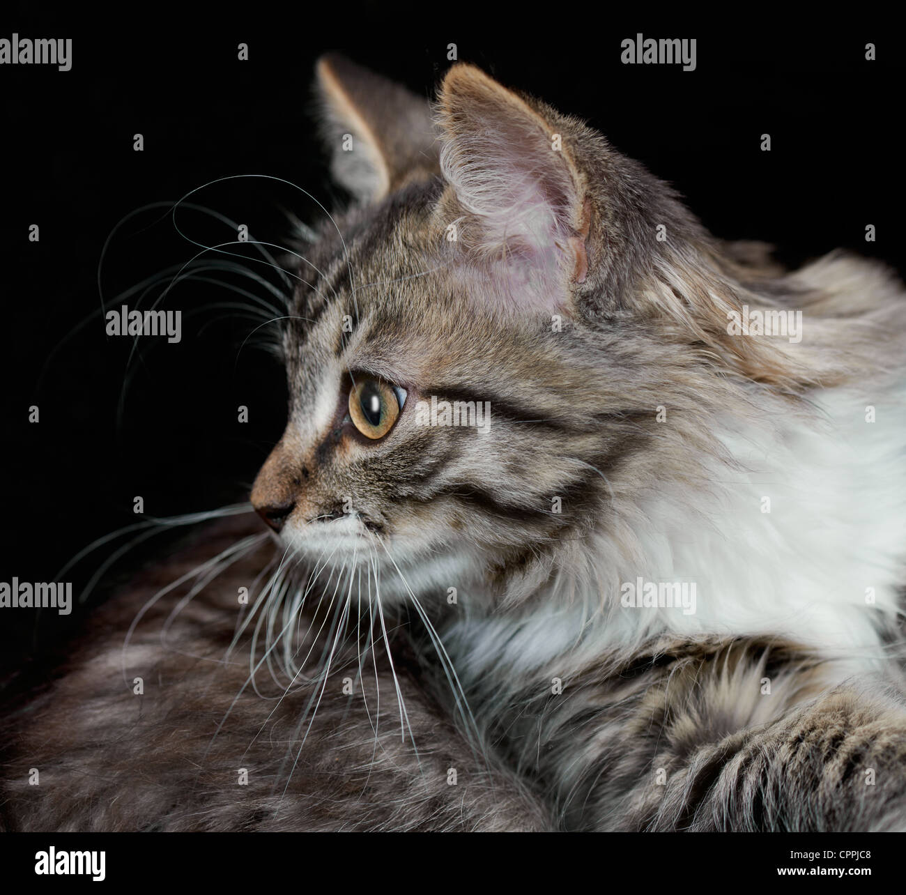 Portrait of a purebred Siberian kitten on a black background Stock Photo